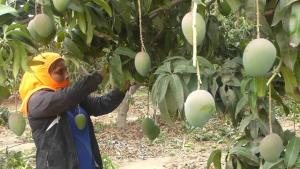 Lambayeque: conforman comités para control de mosca de la fruta