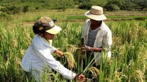 Lambayeque: proyectan cosechar más de 25 mil toneladas de arroz en valle Chancay