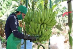 Lambayeque: Sembrarán 25 nuevas hectáreas de banano orgánico en el valle de Olmos