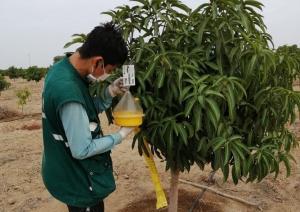 Lambayeque: Vigilancia fitosanitaria de mosca de la fruta para proteger la producción hortofrutícola