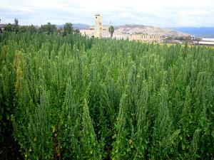 Liberan nueva variedad de quinua de alta calidad y productividad