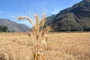 """Liberan nueva variedad de trigo harinero """"INIA 440 – K'anchareq"""" de alta productividad"""
