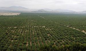 Lluvias afectaron 8 mil hectáreas de cultivos en proyecto Chavimochic