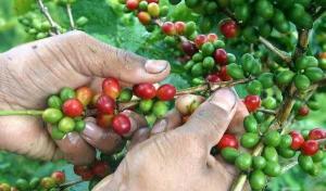 Los productores peruanos de café enfrentan pérdidas de US$ 60 dólares por quintal