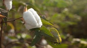 """""""Los últimos 30 años del algodón peruano son una historia de crisis"""""""