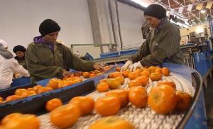 Mandarinas: ¿cuánto se requiere invertir por hectárea destinada a la exportación?
