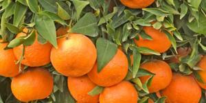 Mandarinas peruanas llegarían a Japón e India este año