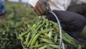 Más de 20 mil familias se dedican al cultivo de arveja en Perú