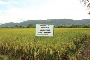 Más de 30 toneladas de semilla de arroz INIA 514-Bellavista estarán a disposición de productores de la selva en la segunda quincena de mazo