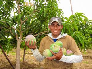 Más de 36 mil productores se benefician con Programa de erradicación de mosca de la fruta