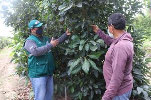 Más de 5 mil pequeños productores hortofrutícolas serán beneficiados con etapa de supresión de la mosca de la fruta
