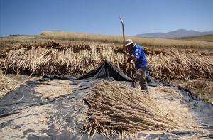 Más de 50 mil agricultores incrementan un 30% su producción de quinua con semillas de calidad genética