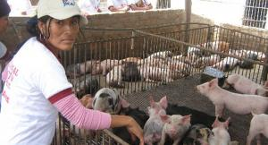 Más del 63% de mujeres deciden estrategia en la crianza de porcinos