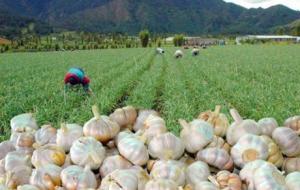 Mercado del ajo está prácticamente vacío