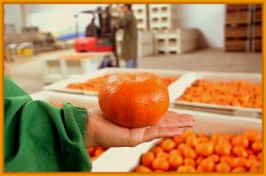 Mercado global de la mandarina