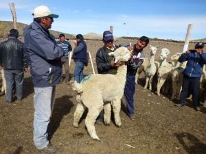 Minagri capacita a 94 promotores alpaqueros de Puno y Ayacucho