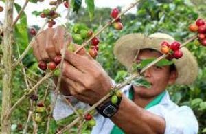Minagri continuará empadronando a productores cafetaleros hasta el 4 de agosto