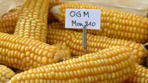 Minam estudiará si cultivos de fríjol, yuca y rocoto están contaminados por transgénicos
