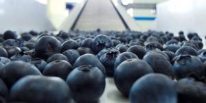 Moquegua: certifican la primera planta procesadora de arándanos para la exportación