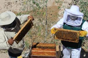Moquegua: inician monitoreo y tratamiento de colmenas en la región