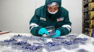 Moquegua se convierte en nueva región agroexportadora de arándanos