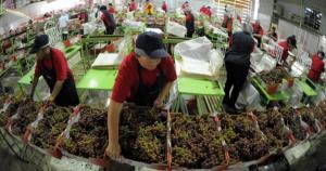Notoria caída en la importación de uvas