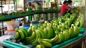 Nueva variedad de banano permite duplicar la producción