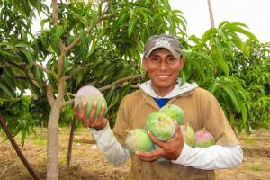 Nueve regiones estarán libres de mosca de la fruta al 2023