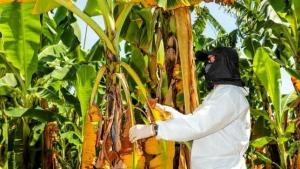 Países de la Comunidad Andina coordinan acciones de prevención conjunta para evitar dispersión de Fusarium Raza 4 Tropical