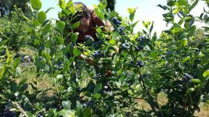 Pequeños productores contribuyen con más del 20% de las exportaciones de arándanos de Perú