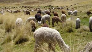 Perú alberga al 87% de la población mundial de alpacas