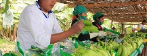 Perú en camino de convertirse en primer proveedor de banano orgánico de EE.UU.