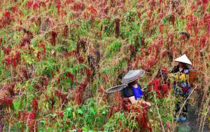 Perú está próximo a exportar quinua a China, pero el gigante asiático tiene sus propios planes con el cultivo