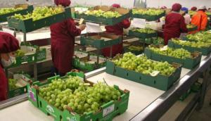Perú exportaría entre 43 millones y 45 millones de cajas de uva de mesa en la campaña 2018/2019