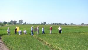 Perú impulsará la producción de arroz baja en emisiones de GEI y resiliente al cambio climático