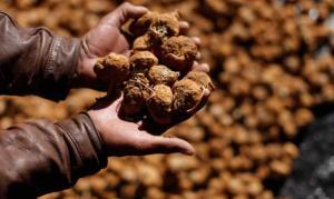 Perú no controló la salida de semillas y ahora China intenta patentar como suya la maca