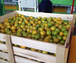 Perú produjo 553 mil toneladas de naranja Valencia en 2020