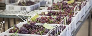 Perú se consolidó como el primer proveedor de uvas en el mercado colombiano el 2016