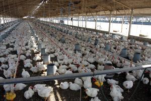 Perú se ubica como el mayor consumidor de pollo en Latinoamérica