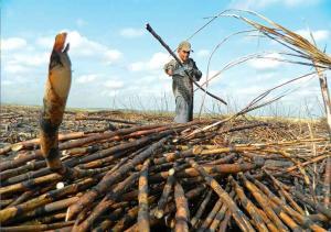 Perú tiene los mejores rendimientos agrícolas del mundo en caña de azúcar