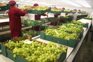 Perú ya es el tercer país exportador mundial de uva de mesa