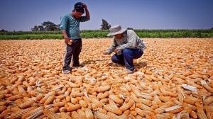 PIDEN MÁS DEBATE CIENTÍFICO PARA DEFINIR PERMISO A USO DE TRANSGÉNICOS EN EL PAÍS