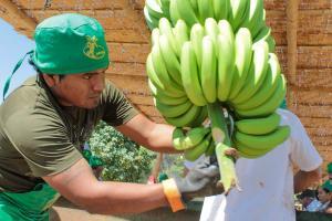 Piura es la gran región exportadora de banano peruano
