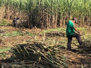 Piura: ingenios azucareros son claves en la reactivación económica