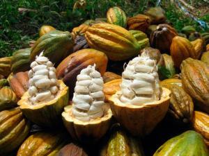 Piura lanza concurso para elegir la mejor variedad de cacao de la región