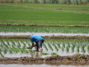 Piura no tendrá campaña chica de arroz por falta de agua y trabajos en Poechos