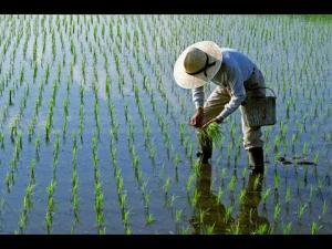 Piura: San Lorenzo instalará 6 mil hectáreas de arroz en la campaña grande