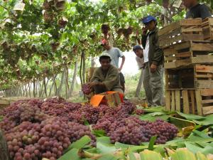 Piura se convirtió en la principal región productora de uva en Perú el 2016