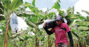 Piura: se dejan de exportar semanalmente 60 contenedores de banano orgánico, generando pérdidas por US$ 868 mil