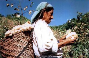 ¿Podría el retorno al cultivo de algodón mejorar los bajos precios de la pequeña agricultura?